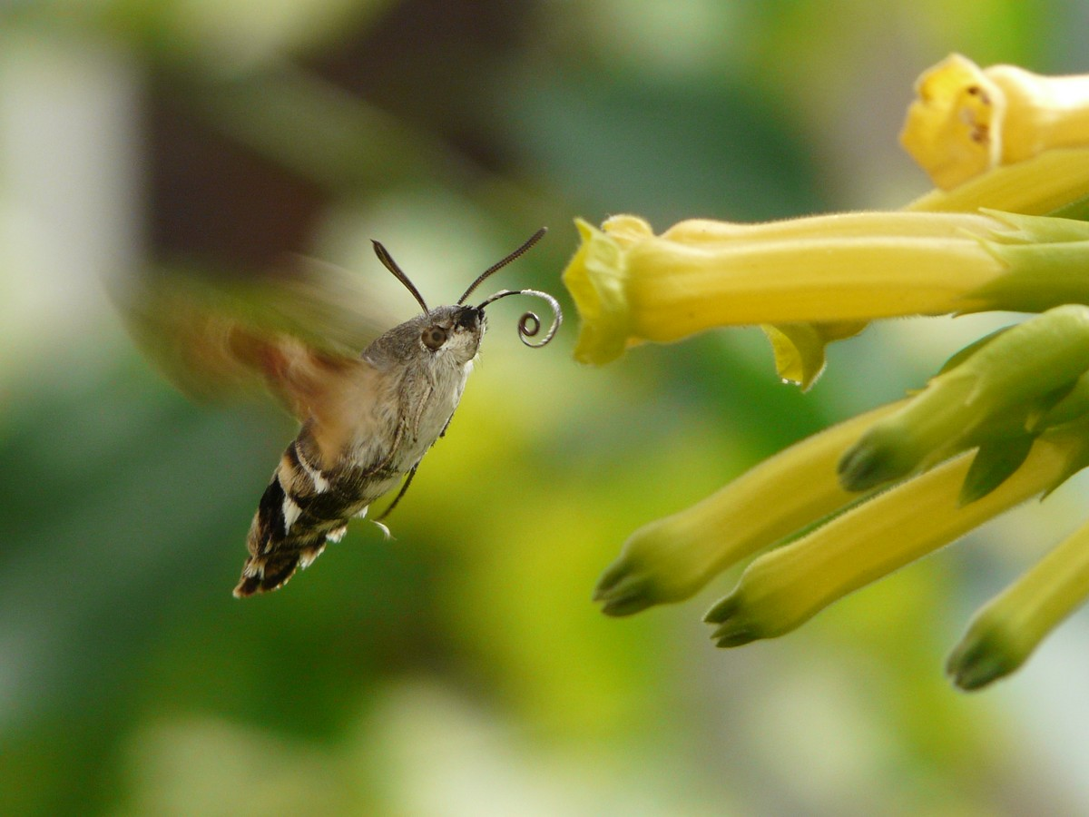 Photos De Papillons Le Sphinx Colibri